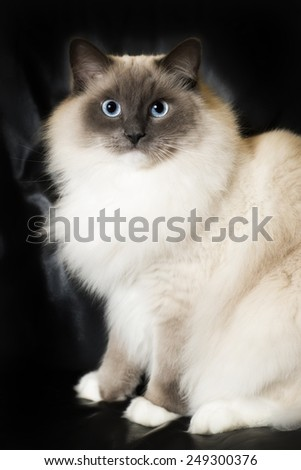 White ragdoll cat - stock photo