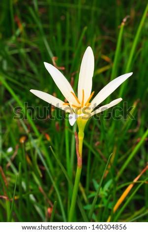 White rain lily, Zephyranthes candida - stock photo