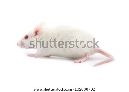 white rat - stock photo