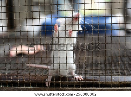 white rat in the cage - stock photo