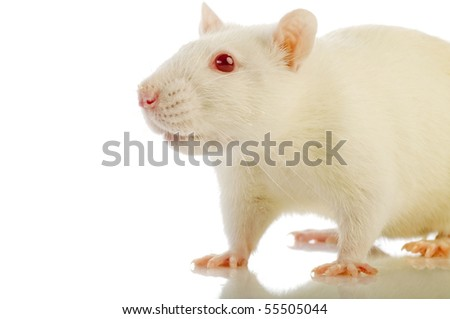 white rat isolated - stock photo
