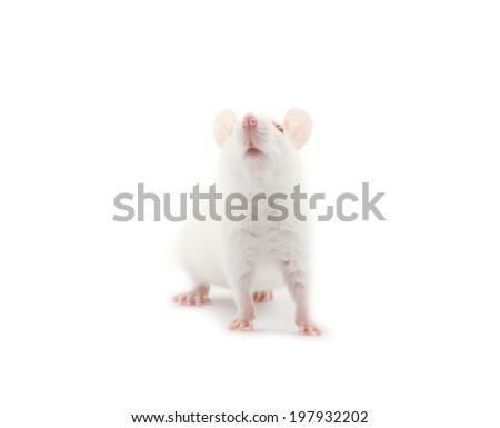 white rat isolated on white background - stock photo