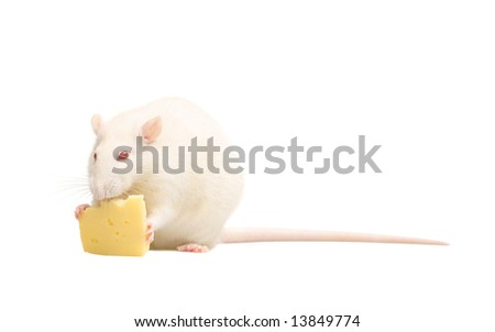 white rat with cheese isolated on white background