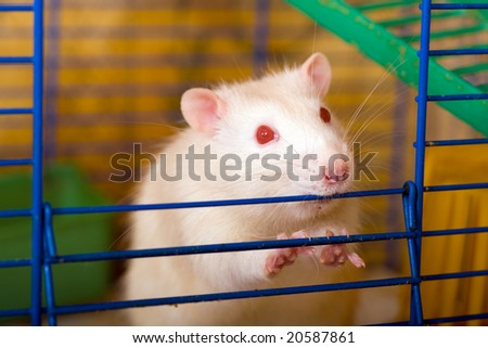 White rat with red eyes in the cage