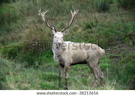 white red deer - stock photo