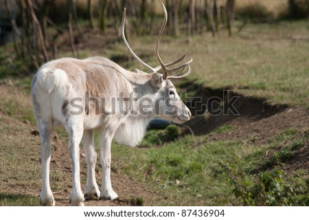 White reindeer standing in the forest