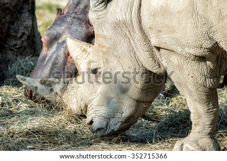 white rhino and hippo while eating together close up - stock photo