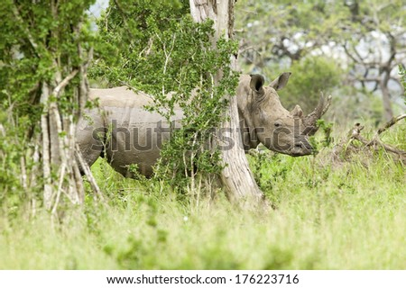 White Rhino behind brush in Umfolozi Game Reserve, South Africa, established in 1897 - stock photo