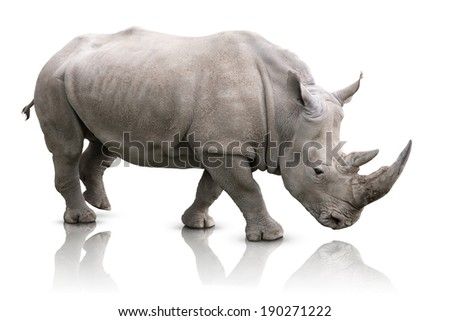White Rhino - Ceratotherium simum - stock photo