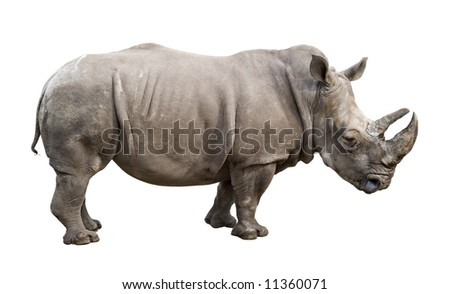 White rhino (Ceratotherium simum) old male isolated on white. Side view.