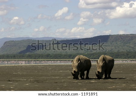 white rhino couple on lake shore