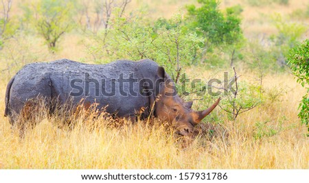 White Rhino Grazing.  Kruger National Park, South Africa - stock photo