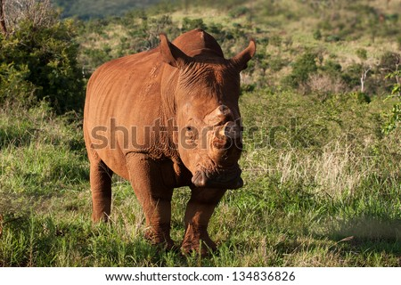 white rhino in South Africa with horn sawed off to protect against poachers - stock photo