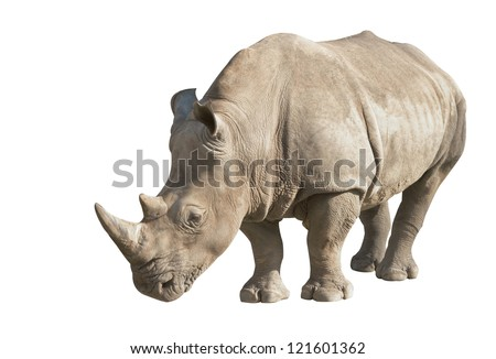 white rhino on a white background - stock photo