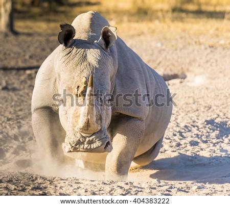 White Rhino or Rhinoceros looking angry while on safari in Botswana, Africa - stock photo