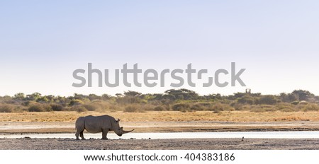 White Rhino or Rhinoceros while on safari in Botswana, Africa - stock photo