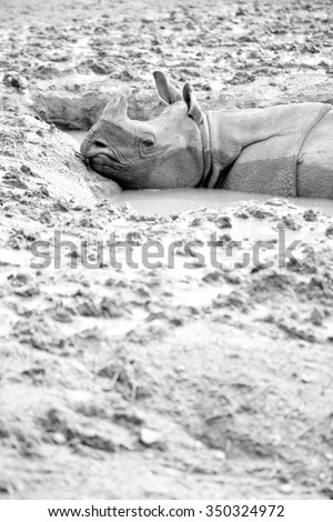 White Rhino - This is a black and white image of a big white rhino cooling off in the mud. Shot with a shallow depth of field. - stock photo