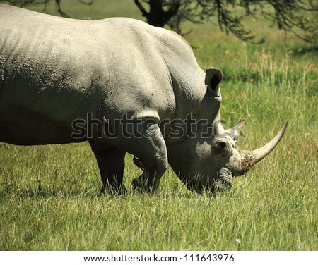 White Rhino with birds sat on him in Kenya Africa - stock photo
