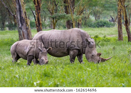 White Rhino with calf in Lake Nakuru National Park, Kenya - stock photo