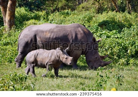 White rhino with calf in Ziwa Rhino Sanctuary, Uganda - stock photo