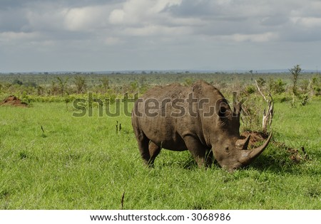 White rhino with very long horn grazing in a field - stock photo