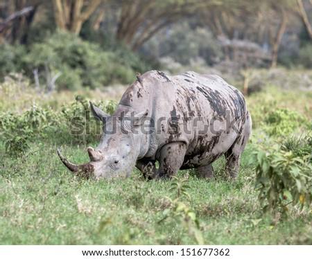 White rhinoceros at Lake Nakuru National Park - Kenya, Eastern Africa - stock photo