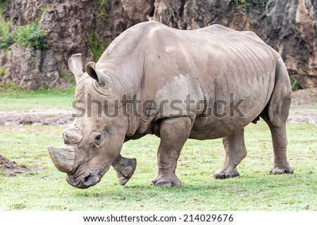 White rhinoceros (Ceratotherium simum). - stock photo