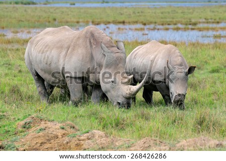 White rhinoceros (Ceratotherium simum) feeding in open grassland, Lake Nakuru National Park, Kenya - stock photo