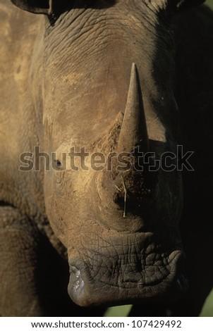White Rhinoceros, Ceratotherium simum, Hluhluwe-Umfolozi Game Reserve, KwaZulu Natal, South Africa - stock photo