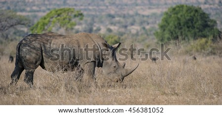 White Rhinoceros (Ceratotherium simum) Kruger National Park, South Africa - stock photo