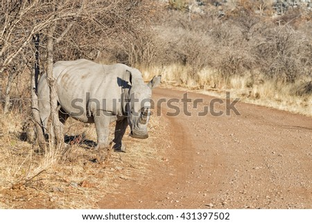 White rhinoceros (Ceratotherium simum) on the side the road in Ongava Game Reserve, Namibia