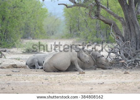 White Rhinoceros (Ceratotheriun simum) resting is a sand veld forest, South Africa,  - stock photo
