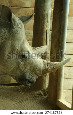 White rhinoceros eating and helping to teach students about preserving our endangered animals. - stock photo