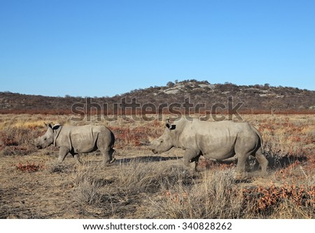 White rhinoceros female walking with its young in Ongava Game Reserve, Namibia