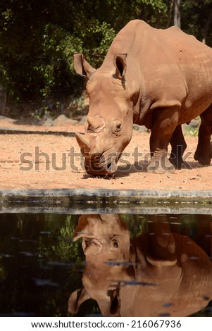 White Rhinoceros full length and reflection on water - stock photo
