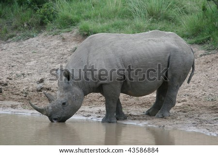 White rhinoceros having a drink from a waterhole in Addo Elephant national park, South Africa - stock photo