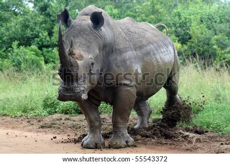 White rhinoceros kicking border post, South Africa - stock photo