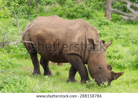 White rhinoceros or square-lipped rhinoceros (Ceratotherium simum) in Mosi-oa Tunya National Park, Zambia, Africa - stock photo