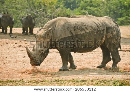 White rhinoceros, soiled in dirt.