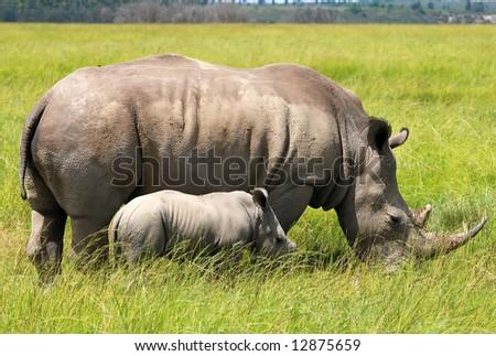 white rhinoceros with 3 weeks calf - stock photo