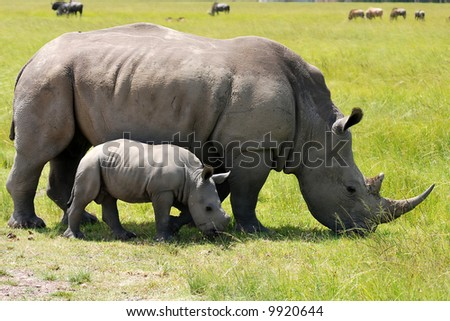 white rhinoceros with 3 weeks calf - stock photo
