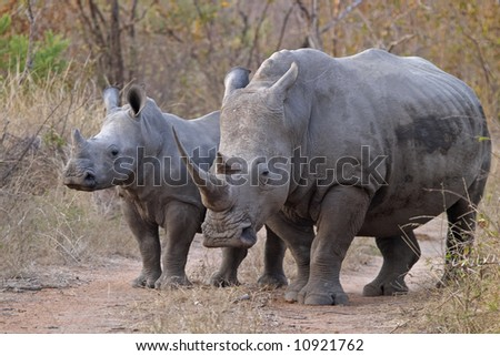 White rhinocerous with calf, Ceratotherium simum standing on a road in typical bushveld. - stock photo