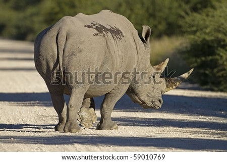 White Rhinocerus walking across a gravel road; Ceratotherium simum