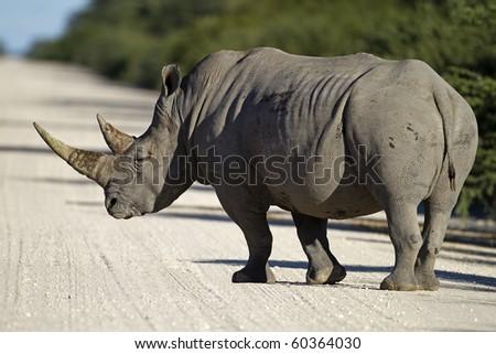 White rhinocerus walking across sandy road; Ceratotherium simum - stock photo