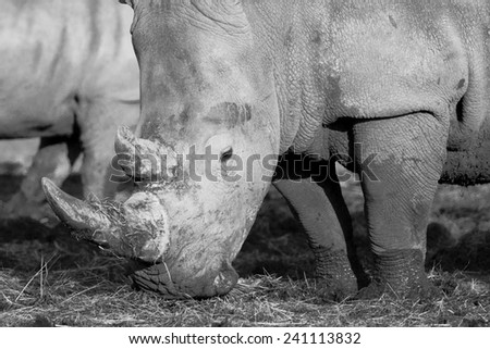 White rhinos are the largest species of rhino - stock photo