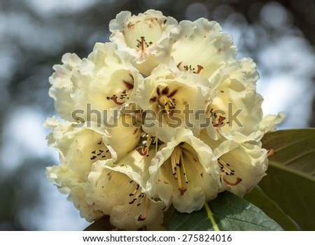 White rhododendron detail in spring. - stock photo