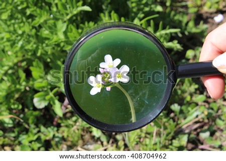 """White """"Rock Cress"""" flowers and blooming buds through a female hand holding magnifying glass in St. Gallen, Switzerland. Its scientific name is Arabis Caucasica. - stock photo"""