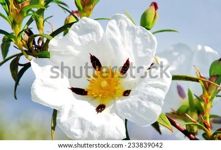 white rockrose in Mediterranean spring blossom  - stock photo
