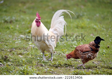 White rooster and red hen on grass - stock photo