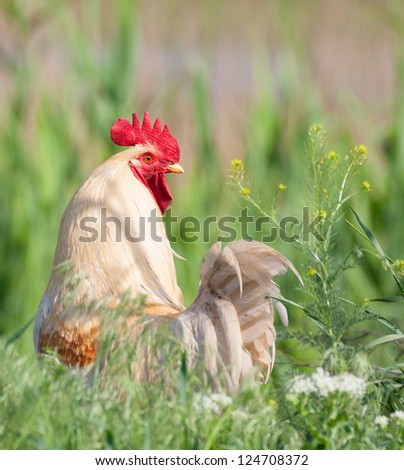 White rooster standing, isolation in it's natural environment - stock photo